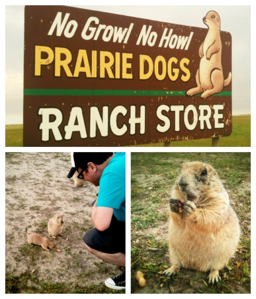 There are doggies to be fed at The Ranch Store just before you enter the Badlands in South Dakota. Squealing with delight even though it happened yesterday! In my top 10 of things we've done on this trip so far.