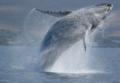 SPEAK UP FOR WHALES … BEFORE THEY ARE SILENCED FOREVER. The Navy estimates that its five-year plan for training with sonar and explosives will harass, injure or kill marine mammals more than 33 million times! Urge the Navy to put safeguards in place before unleashing this deadly barrage. Act now please! http://bit.ly/LzdFrU and share!
