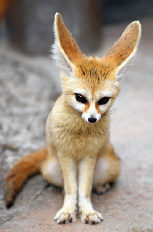 wearebarebones:  Fennec fox (by floridapfe)