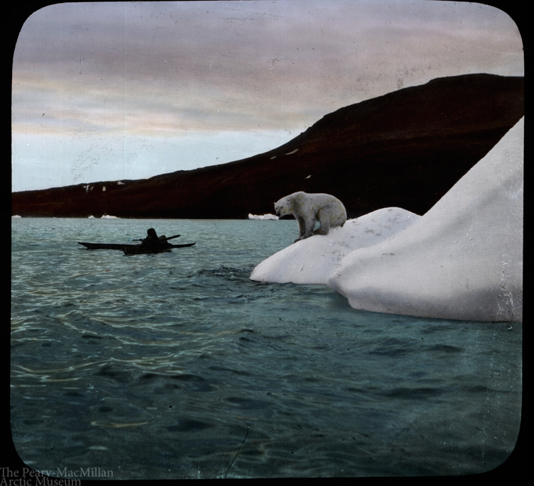 Polar bear stands on ice near Etah. Taken by MacMillan on the Crocker Land Expedition, 1913- 1917.
