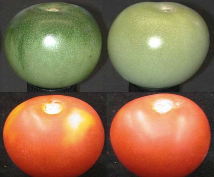 discoverynews:  Why Supermarket Tomatoes Taste Like Cardboard Supermarket tomatoes may look pretty, but the gene mutation that makes them look good also makes them taste terrible. keep reading  ppl with backyards :P Choose the right one, and grow your own.