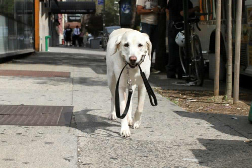 humansofnewyork:  Pretty sure I just saw a dog walking itself down 8th Ave.  this dog is being the change I want to see in the world