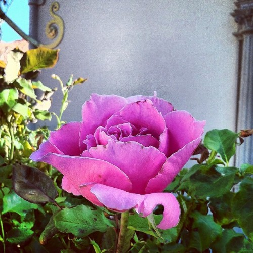 Curious, a rose introduced in 1946, simply called The Doctor. #qotd  (Taken with Instagram at Hearst Castle Guest House)