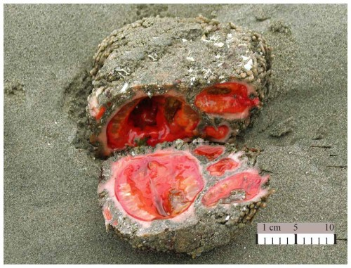 rhamphotheca:  Pyura chilensis: the Closest Thing to Getting Blood from a Stone by Becky Crew Despite appearances, this is not some kind of cruelly bisected alien stone organism or a tomato thunderegg. This is Pyura chilensis, a sea creature that lives on the rocky coast of Chile and Peru. And if (like me, very recently) you've never seen one of these before, you'll probably be interested to know that in Chile, they are fished commercially, and the locals eat them raw or cooked with salad and rice because apparently they're delicious. P. chilensis belongs to the Ascidiacea class of non-moving, sac-like marine invertebrate filter feeders that are otherwise known as sea squirts. They belong to the Tunicata subphylum, so-called because they wear thick 'tunics' made of tunicin, which is a hardy matrix of molecules that help the animal attach itself to a hard surface on which it will carry out its days. The insides of this tunic are lined with an epidermis and a muscular band, and inside these layers lies the main part of the animal. P. chilensis has two siphons that connect the animal to the surrounding ocean through its tunicin – one for exhaling and one for inhaling. It eats by inhaling the water and filtering out the edible microalgae using a moving layer of mucus in its enlarged pharynx, or branchial sac, before exhaling the water back out the other siphon. The pharynx is connected to the animal's digestive tract, which basically acts like a mouth… (read more: Scientific American)       (photo: uncredited)