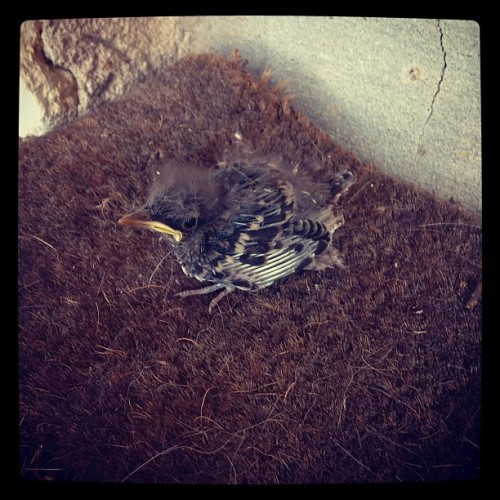 Poor mocking bird, fell out of his nest (Taken with Instagram)
