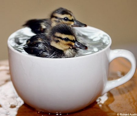 cutecuddlez:  two ducks, one cup (;
