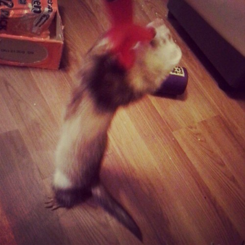 Attack ferret! (Taken with Instagram)