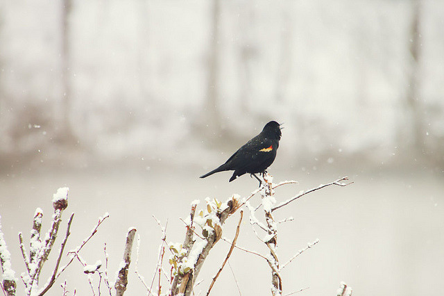 4dele:  Red-winged Blackbird by Emily Carlin on Flickr.