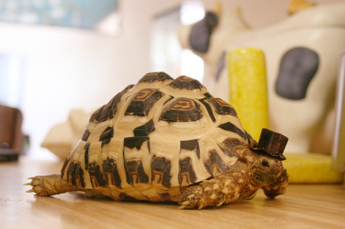 That's one fancy turtle.
