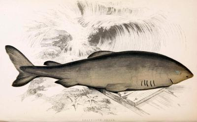Eqalussuaq [Inuit] - Somniosus microcephalus (The Greenland Shark) The Greenland shark is big, slow, and an apex predator of the sea. Despite its top speed of not over 2 mph (and this fast only in short sprints - it generally moves under 1 mph), it is still the second-largest carnivorous fish on Earth, and has been found with polar bear, reindeer, narwhal, and even other sharks in its stomach. Of course, although the Greenland shark is decent at hunting sharks, (sleeping) seals, and fish in the water, the polar bear and reindeer remains are from carrion that drifted to the bottom of the ocean. It's an opportunistic predator, and will try to eat almost anything in its path. Over 90% of the arctic Greenland sharks are hosts to the parasitic copepod Ommatokoita elongata (seen in the illustration), which has evolved to permanently attach themselves to the corneas of the genus Somnosius. They absorb nutrients through the blood vessels in the eyes and corneal fluid, and cause serious vision impairment in those affected by their presence. However, since the Greenland shark lives up to 7,200 ft (2,200 m) below the surface, it has little use of eyesight to begin with, and is believed to be largely unharmed by the presence of eyeball-sucking copepods tagging along on their corneas. A History of the Fishes of the British Isles. Jonathan Couch, 1868.