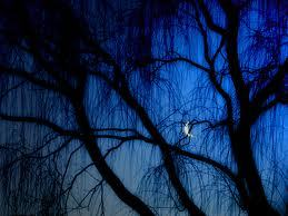 A night symphony echoes with a thousand chirps and croaks while the moon shines through a willow tree. It's all somehow so still…