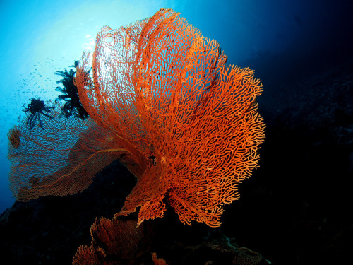 Gorgonian Flare, Similan Islands, Thailand