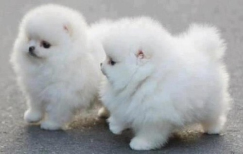 I'm not a dog-lover, but these are tooooo cute!  They look like stuffed animals.
