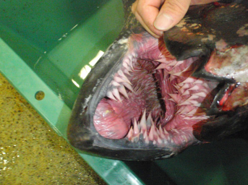sassydeadpool:  guro-tan:  this is the inside of a sea turtles mouth  It's a Leatherback Sea Turtle~  Is this what gay men see as a vagina?
