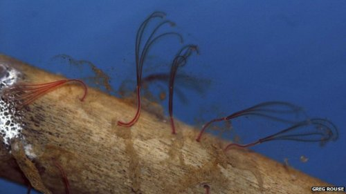 Deep sea worms use acid to eat the bones of seabed skeletons. Osedax worms feed on fallen fish and whales´ bones. They secrete acid to digest and penetrate the bones. (From BBC news).