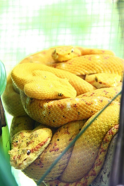 thepredatorblog:  Eyelash viper huddle (by bikespod)