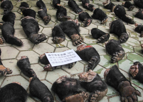 guardian:  Three people were arrested after a large cache of wild animal parts was intercepted in Nanning, capital of southern China's Guangxi Provinc, including 343 frozen pangolins, 141 black bear palms (from at least 43 bears), 37 frozen big-headed turtles, and 20kg of suspected black bear meat. According to officers, the body parts would have been sold on the local black market with the estimated value of 20m yuan Photograph: Quirky China News / Rex Features/Quirky China News / Rex Features