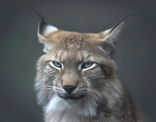 "ex0skeletal:  (via 500px / Photo ""Lynx"" by Alida Jorissen)"