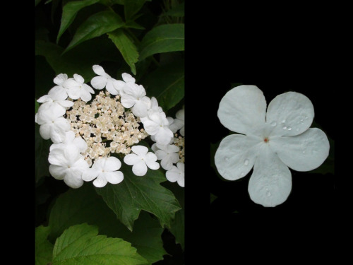 6/12 News from a bush: white flowers edition (photo credit: J.A. Ginsburg / CC BY-NC-ND /@TrackerNews)