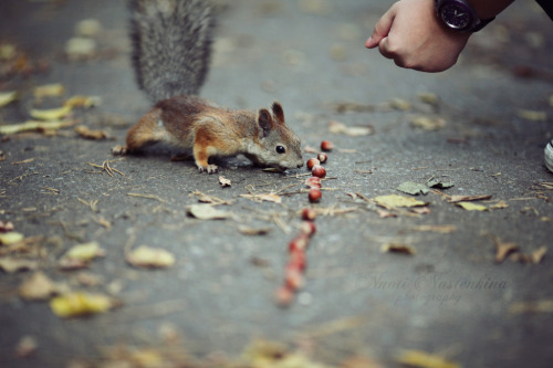 definitelydope:  little russian squirrel (by Nnoti Nastenkina)