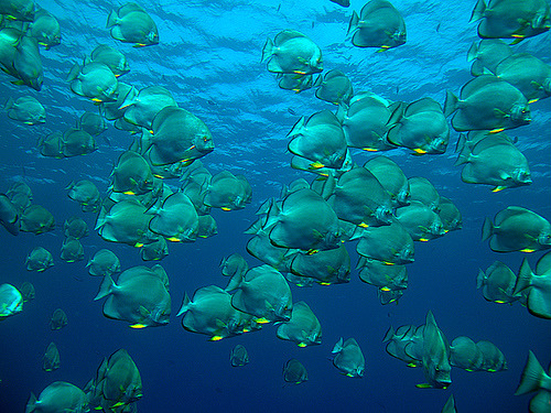 School of Batfish. (vanveelen)