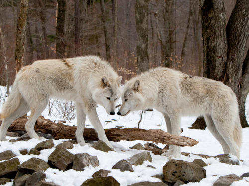 wolveswolves:  Submissions by Kelly & RObert Walters on 500px