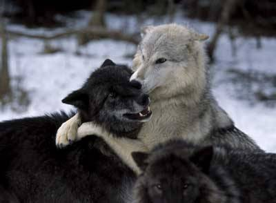 wolveswolves:  My last post for today. GOodnight!