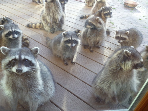 If you give a raccoon a cookie.