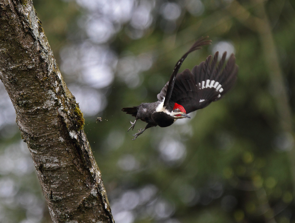 Pileated Woodpecker (by Canonshooterman)