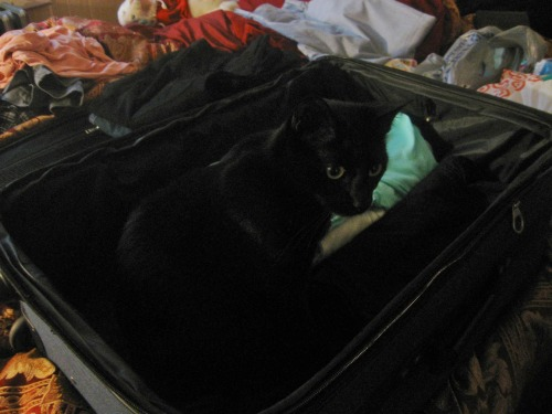 get out of there cat. i am packing for my vacation. i am really not sure if i want to drive with you in the car though.