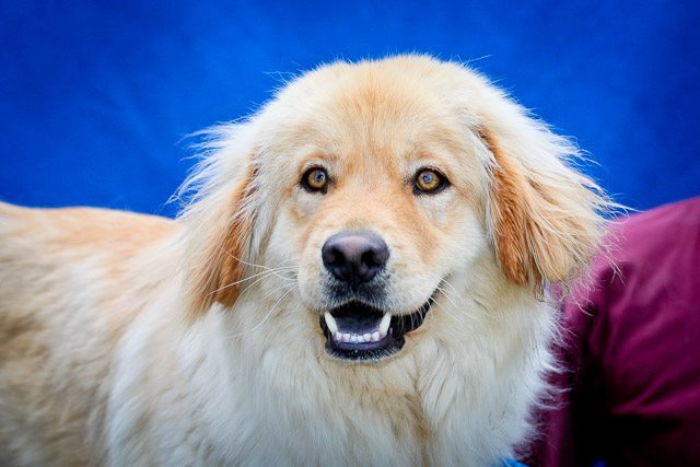 A4447926 Jackson is a magnificent two year old gold neutered male Golden Retriever/Chow mix who was found in West Covina with his companion Millie (A4447930) on June 16th and brought to the Baldwin Park Animal Care Center. Weighing fifty-four pounds, Jackson walks okay on leash but would benefit from additional training. He is good with other large dogs but should not be around small dogs he doesn't know. He is quite bonded to Millie and he loves to groom her. We think he will be good with children. Jackson will be the perfect indoor pet for an active individual or family living in a private home.To watch a video of Jackson and Millie please click here: www.youtube.com/watch?v=6KQjnP4Xnpw