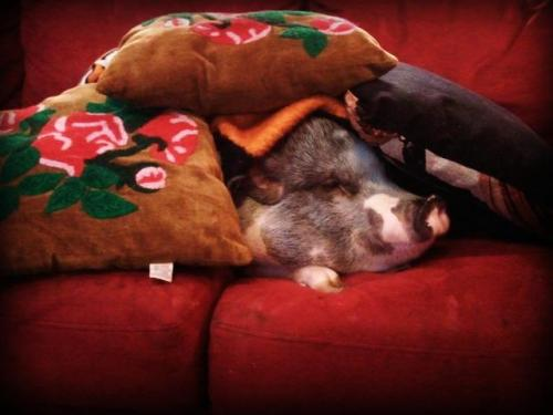 If you give a pig a pillow…  Submitted by: stephaniemga