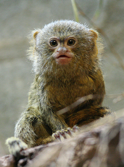 kingdom-of-animals:  Pygmy Marmoset by Dries Arnolds on Flickr.