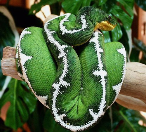reptilesandexotics:  Emerald Tree Boa.