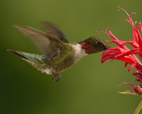 Hummingbird by snooker2009 on Flickr.