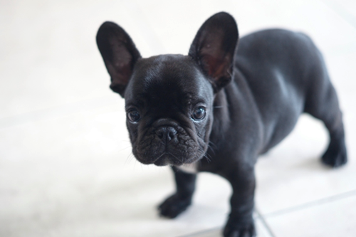 johnny-escobar:  Frenchie