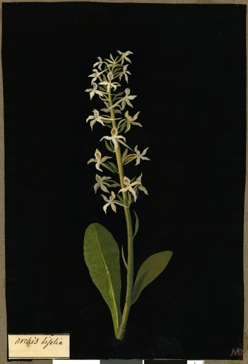heracliteanfire:  Orchis bifolia. Paper collage by Mary Delany, 1779 (via British Museum)