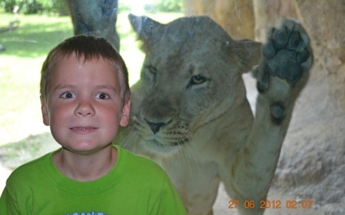 theanimalblog:  A father captured his son's close encounter with a lioness during a visit to Zoo Miami. Alex Hawker, 7, was standing in front of the lion's cage - separated by only a glass screen - when his dad Sean captured the moment a prowling lioness lunged at the youngster  Picture: SPLASH NEWS