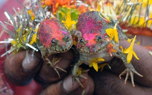 theanimalblog:  The wedding of two frogs, arranged by farmers seeking rainfall, is performed in Nagpur in order to please the Rain Gods and in the hope that their region would soon receive monsoon showers  Picture: AFP/Getty Images