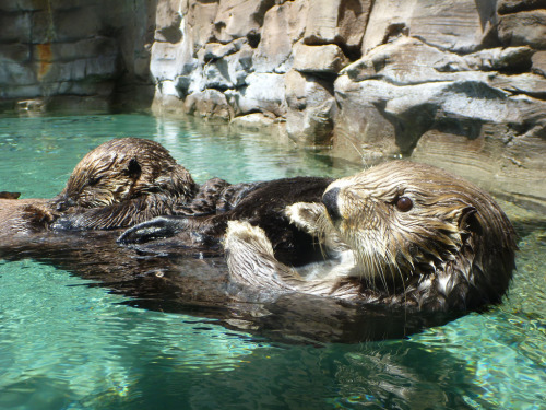 dailyotter:  Mother Sea Otter Floats with Pup on Belly Via whirling_dervish