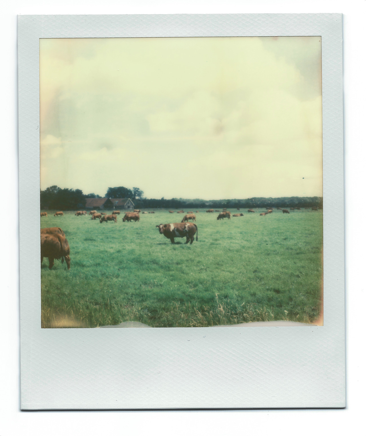 Holy Cow! with PX70 Film (by skinnypictures)