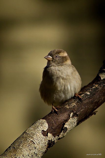 Female House Sparrow by achinthaMB (on vacation) on Flickr.