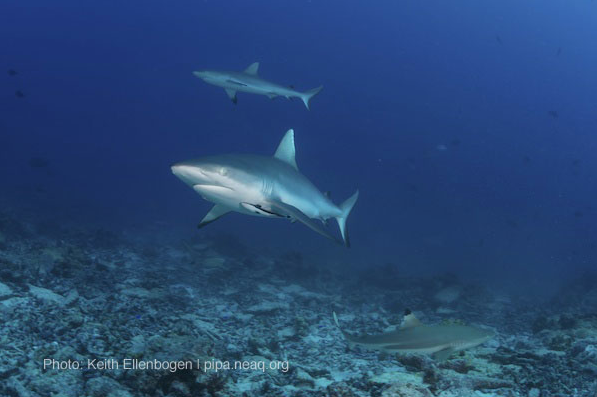 A marine protected area at work: With healthy reefs come sharks. More shark pictures here.