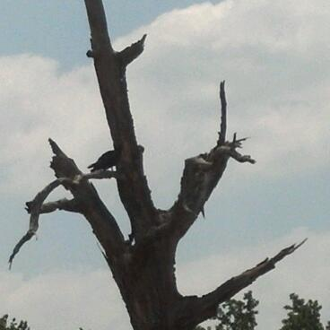 Look closely to see the vulture in the tree.