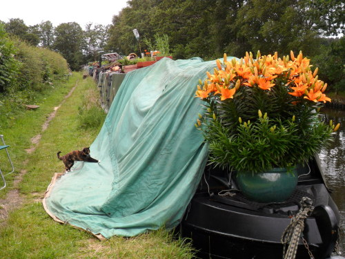 Tortoiseshell cat helps with billowing tarpaulin on a canal boat. Plus Orange lilies!!
