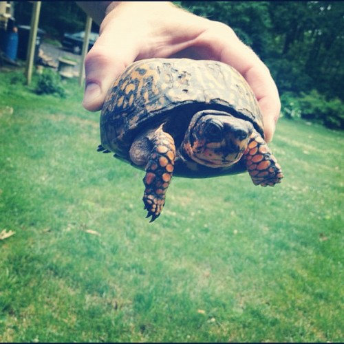Ron just found this in our backyard! #turtletime (Taken with Instagram)