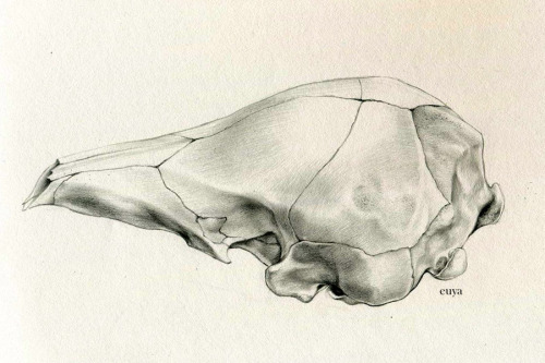 euya:  graphite on canson sketch; ~2 hours pangolin skull 2011 (i think) won't be published (which is why its here looool)