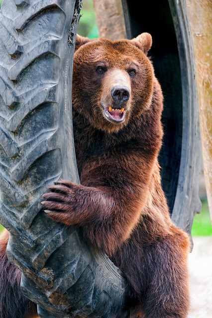 thepredatorblog:  Bear in a tire! (by Tambako the Jaguar)
