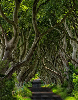 kaossparrow:  helveticaberries:  The Dark Hedges by John Barclay  I don't know if it's just my tumblr acting up so I can't see the picture straight away, but WOW is it worth clicking the link for a look.