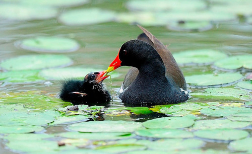theanimalblog:  Gyeonggi, South Korea: A Moorhen feeds its newly hatched chick.  Photograph: Kim Jae-Sun/EPA